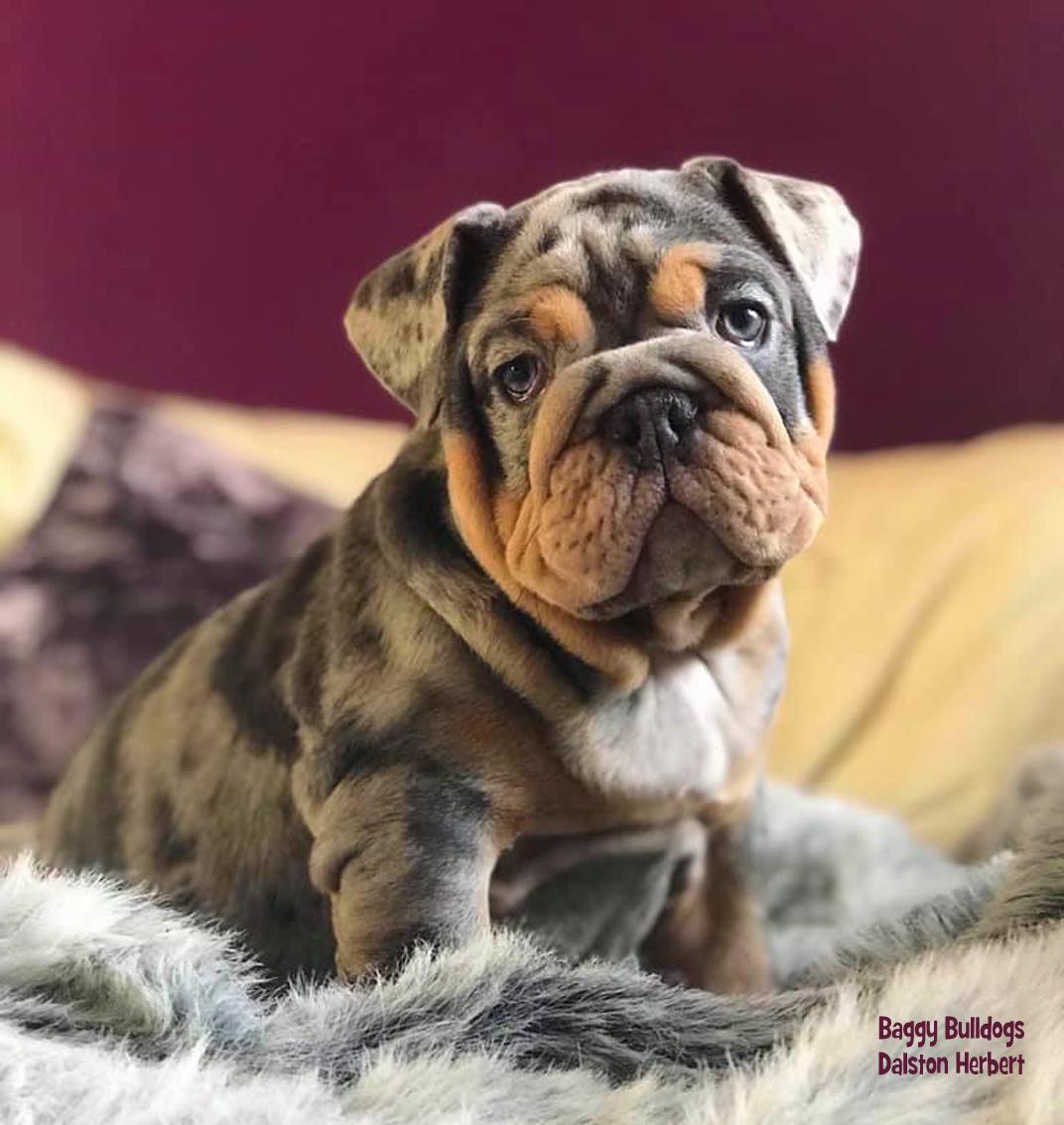 English Bulldog Colors Baggy Bulldogs